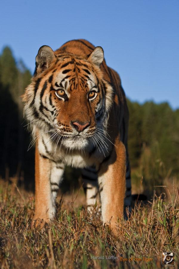 HL 20080930 1441 01 600x900 - Tiger
