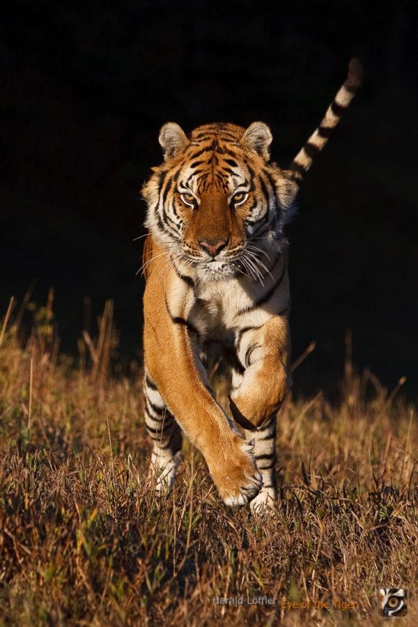 HL 20080930 1480 600x900 - Tiger