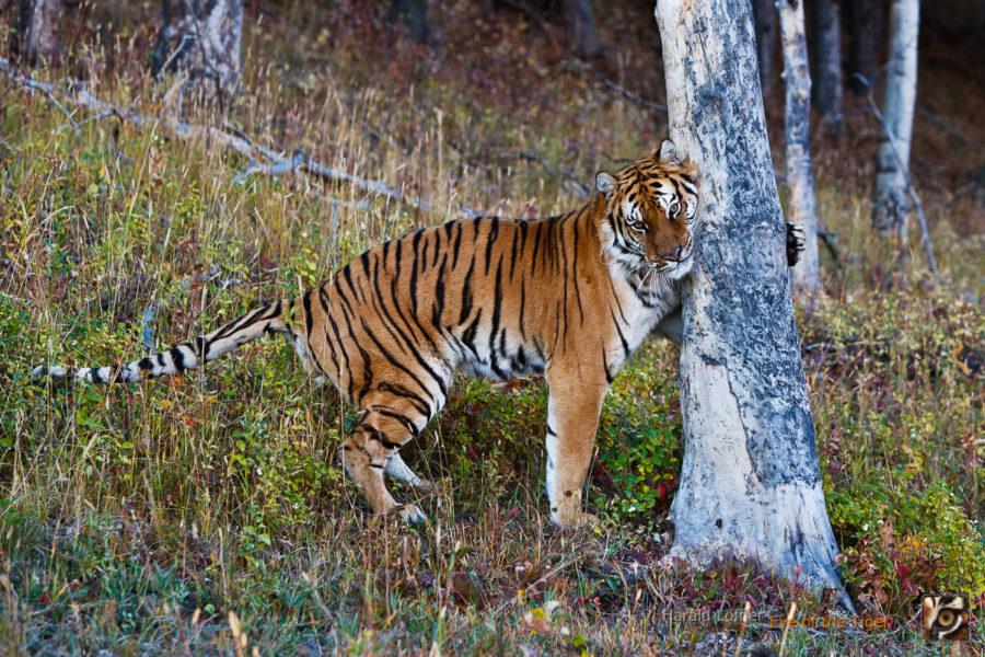HL 20080930 1532 900x600 - Tiger