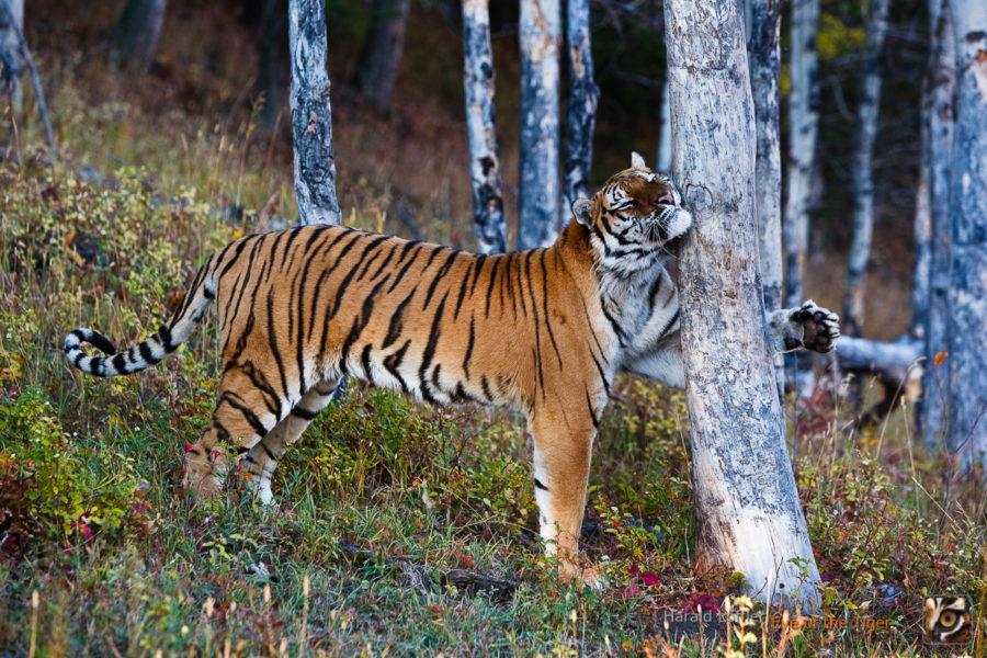 HL 20080930 1537 900x600 - Tiger