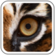 Tiger Eye Newsletter
